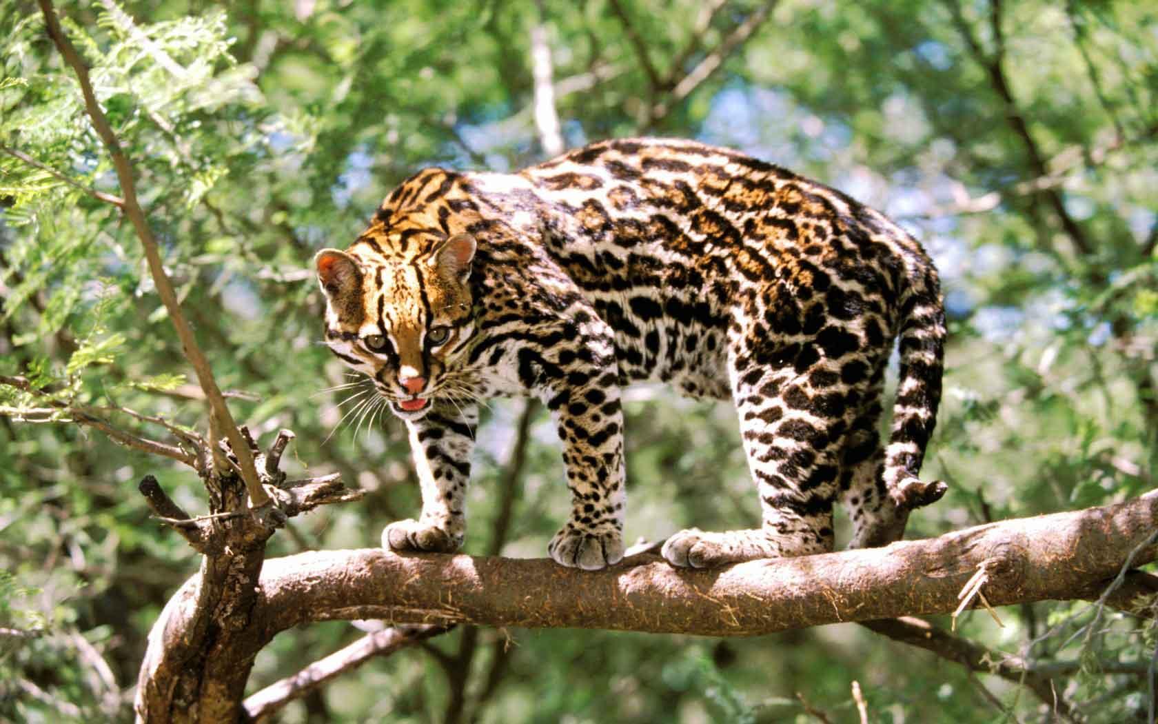 Азиатская леопардовая кошка: описание, характер, среда обитания и образ жизни, фото