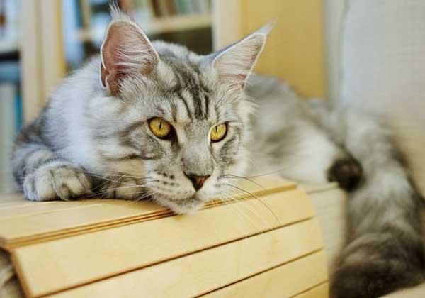 Острый и хронический панкреатит у кошек (распространение, причины, диагностика, лечение, прогноз)