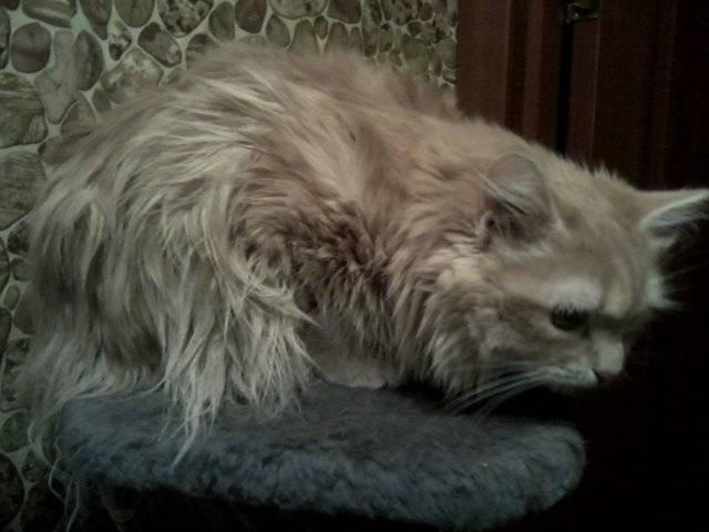 Синдром конского хвоста у кошек