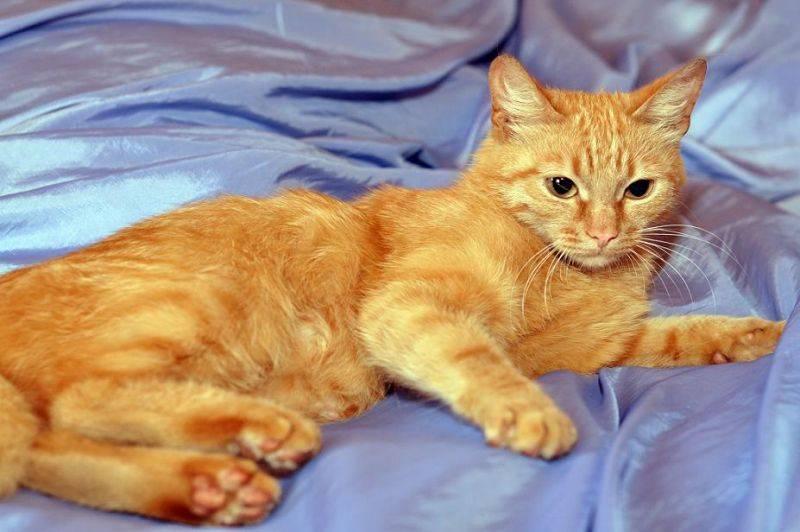 Породы рыжих кошек с фотографиями и названиями | сайт «мурло»