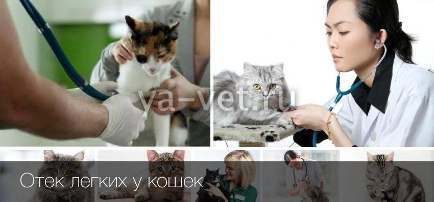 Отек легких у кошек симптомы и лечение - муркин дом