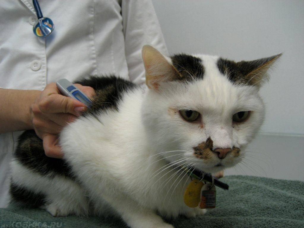 Токсоплазмоз у кошек: симптомы, профилактика, лечение, видео.