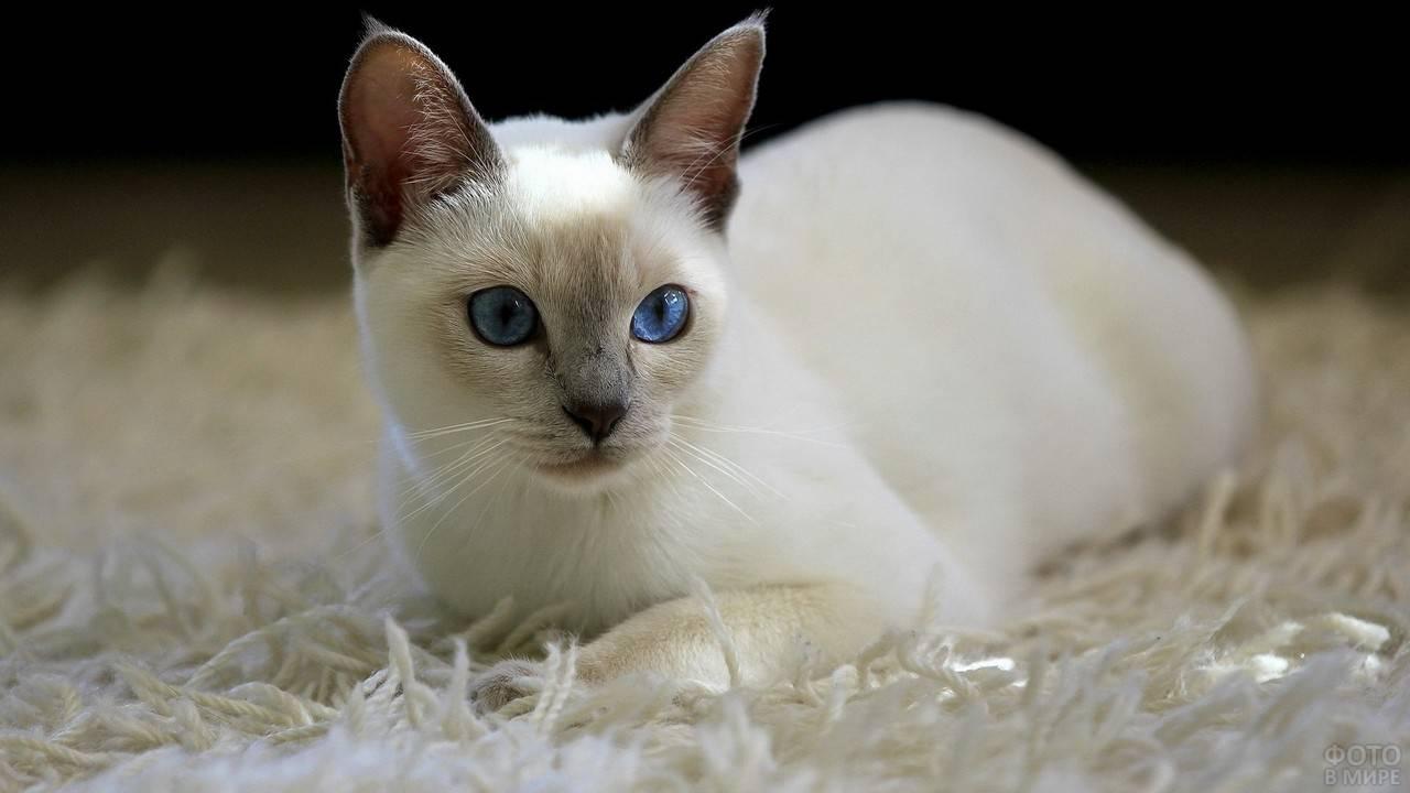 Сомалийская кошка – пушистый аристократ в семье