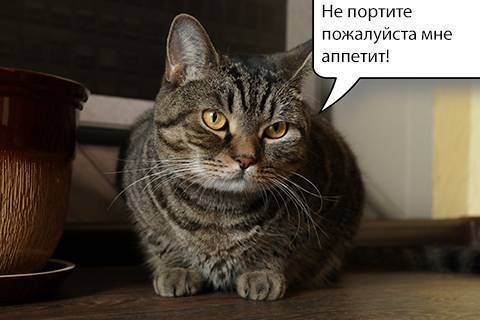 Меню кастрированных котов: выбираем правильный корм