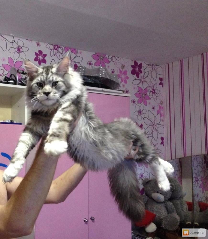 Как выбрать котенка мейн куна: важные правила