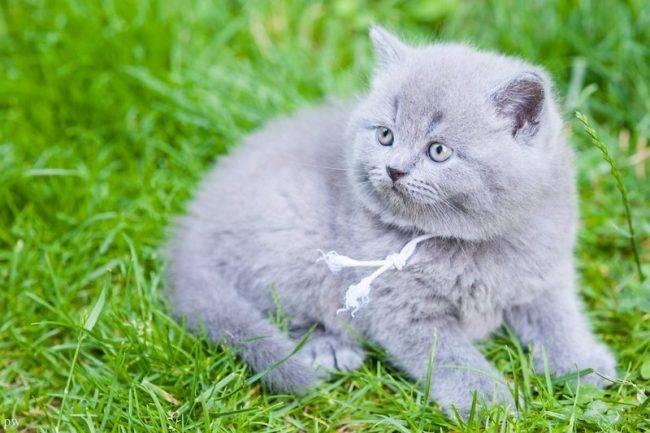 Двое из ларца: как отличить британскую кошку от шотландской