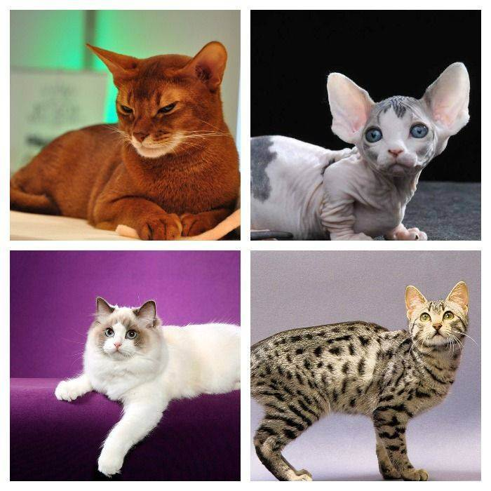 Топ-10 самых умных кошек в мире