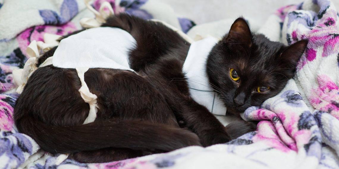 Вялость кошки после стерилизации: что делать?