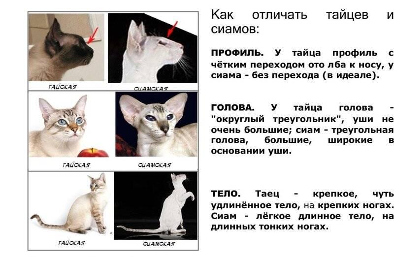 Чем отличается тайский кот от сиамского?