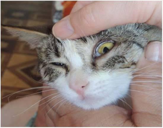 Почему у кота слезятся глаза: что делать, чем лечить и промыть