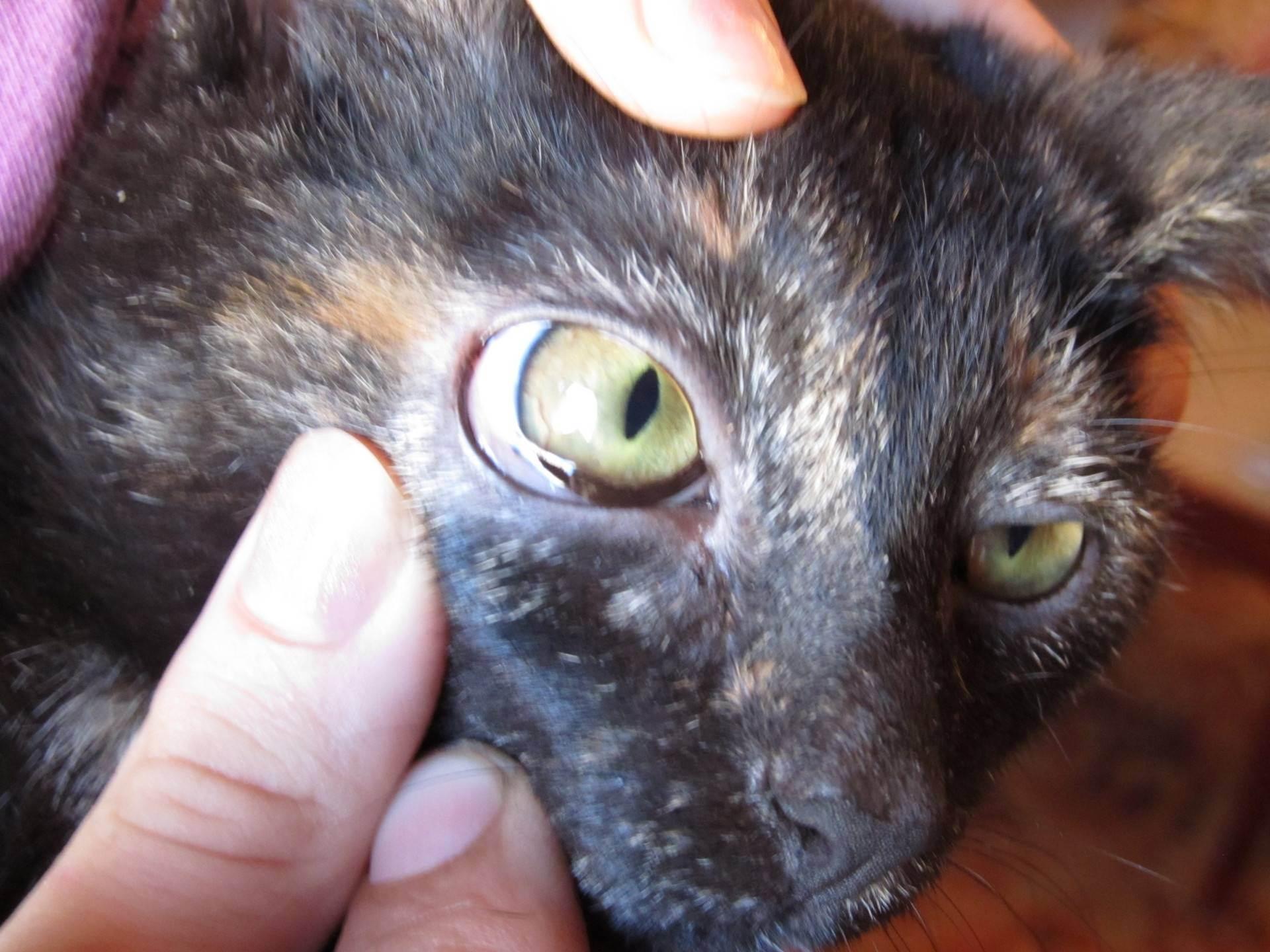 Кошка вылизывает шерсть до кожи – чем лечить