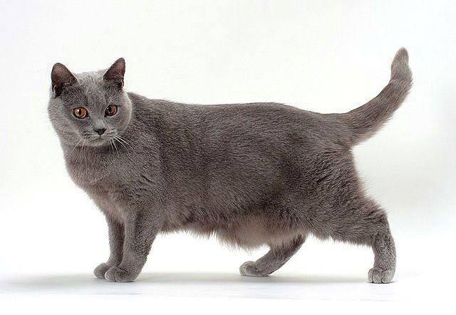Картезианская кошка (кошка породы шартрез)