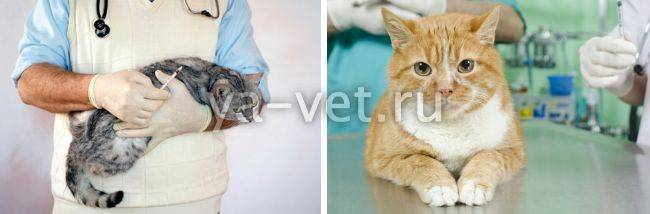 Кровь в моче у кошки и частое мочеиспускание: с чем связано, как лечить?