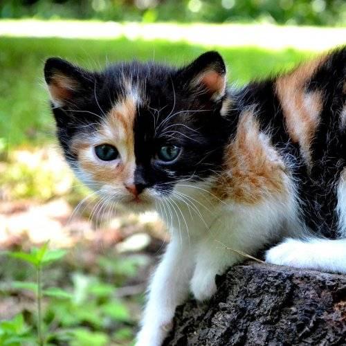 Трёхцветная кошка: описание, особенности, генетика окраса, приметы и поверья