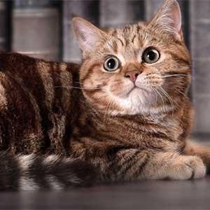 Окрасы кошек: классификация