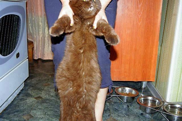 Вздутый живот у кота или котенка: причины, диагностика и особенности лечения