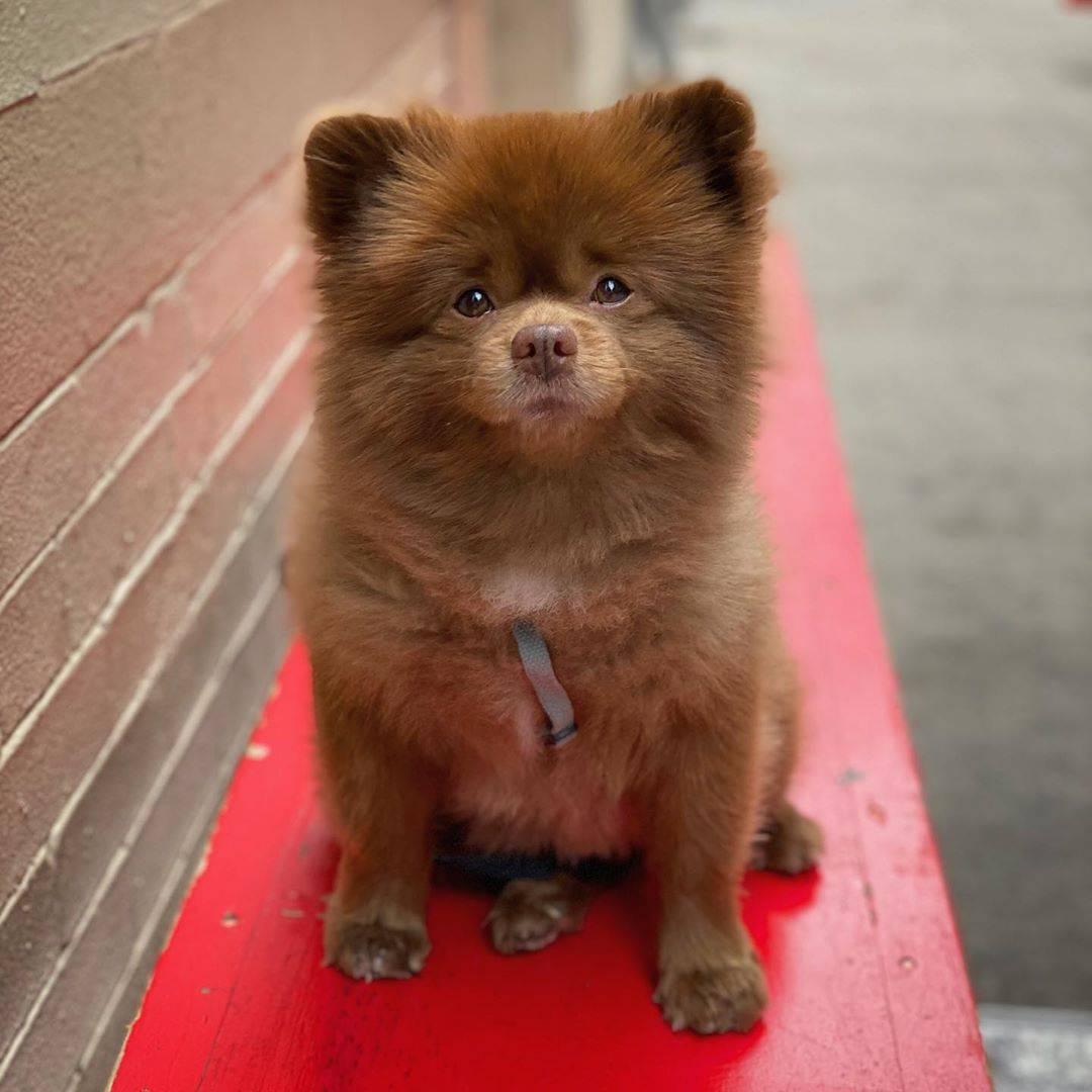 Собака, похожая на медвежонка – порода | фото