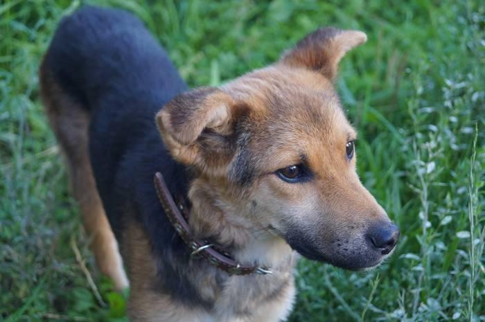 Собака дворняга: описание породы
