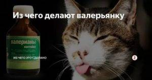 Почему кошки любят валерьянку и что с ними происходит, если ее им давать