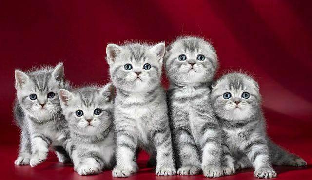 Шотландские кошки: описание, характер, как выбрать шотландского котёнка