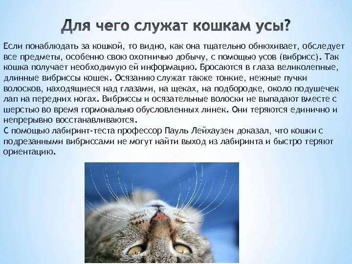 Что будет, если коту обрезать усы: возможные последствия
