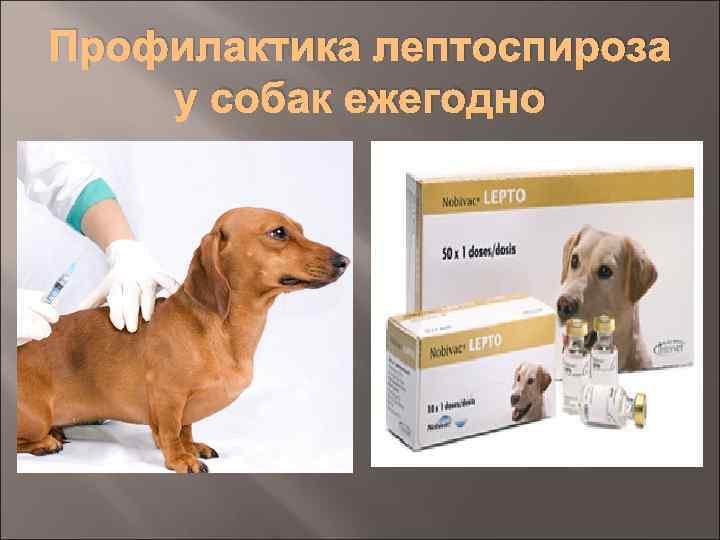 Всё о лептоспирозе у кошек: симптомы и лечение