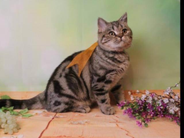 Скоттиш фолд-шотландская вислоухая короткошерстная кошка