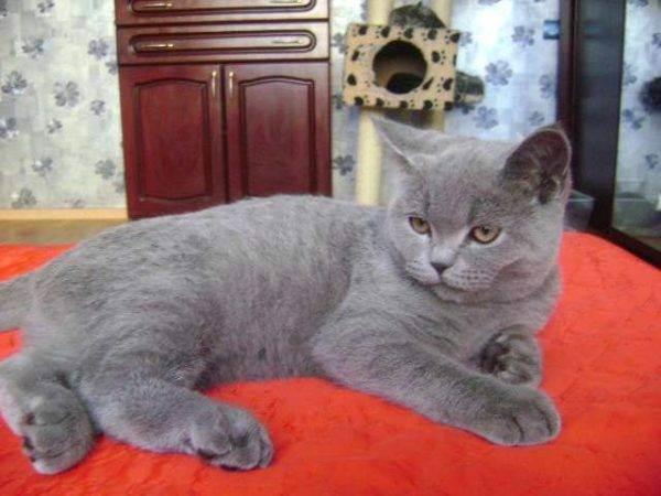 Шотландский котенок в 2 месяца