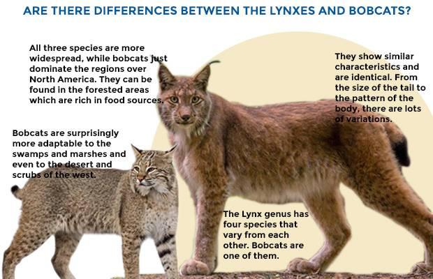 Каракал — кошка как рысь: где живет, как выглядит и чем питается