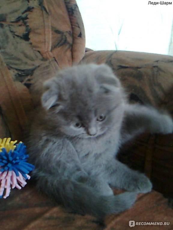 Беременность шотландской вислоухой и прямоухой кошки