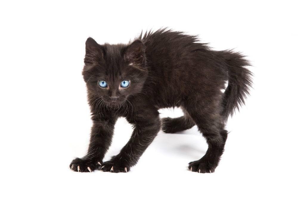Кот рычит и шипит - причины и лечение - kotiko.ru