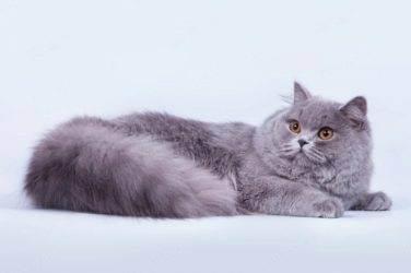 Британская длинношерстная кошка: описание породы, характер, фото | кот и кошка