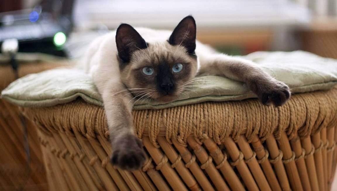 Выбор имени для сиамских кошек
