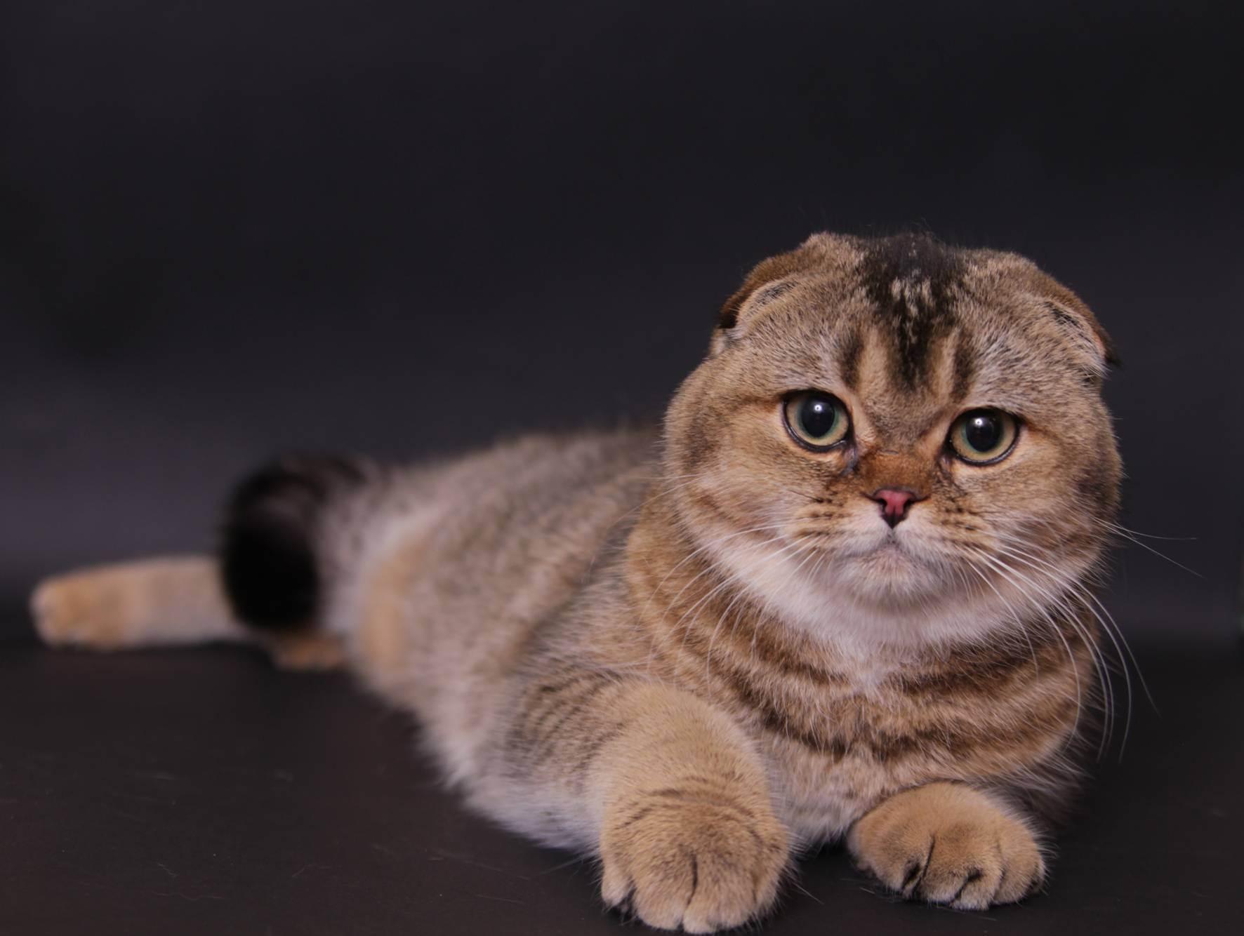 Шотландская вислоухая кошка (скоттиш фолд): описание, характер, содержание и уход, фото