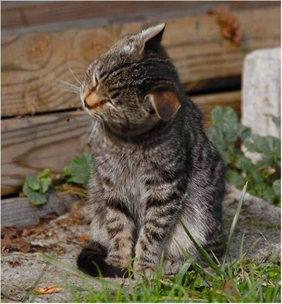 Кошка трясет головой (тремор головы)