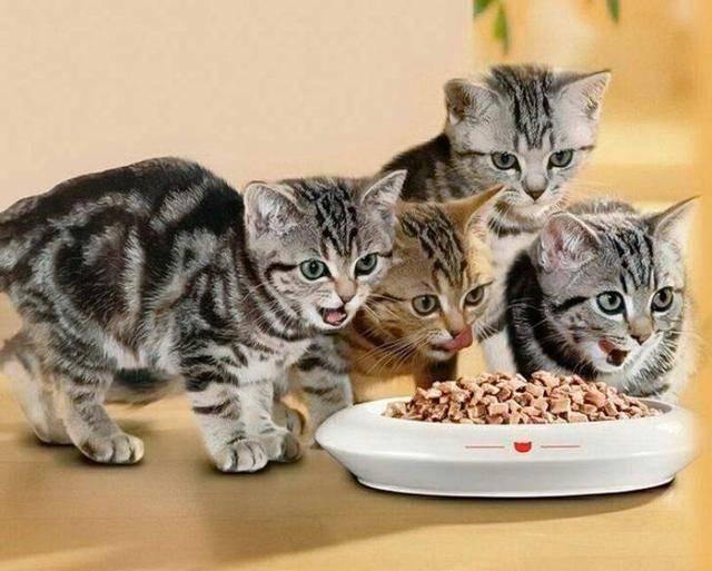 Как переводить кошку на другой корм? можно ли менять сухой корм кота? как правильно перевести кота на корм другой фирмы?