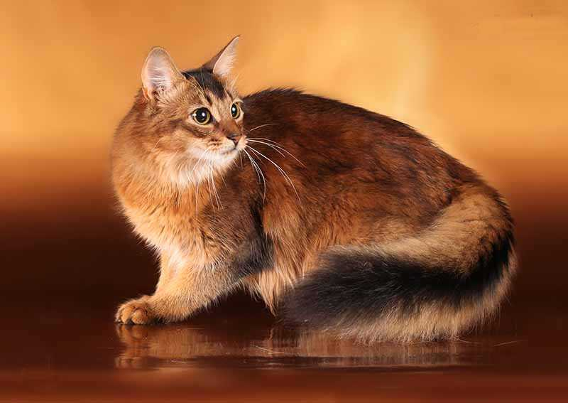 Сомали (somali cat)