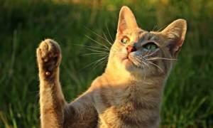 Коллапс трахеи у кошки: причины и симптомы патологии
