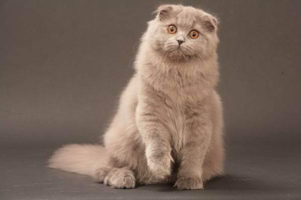 Шотландские длинношерстные вислоухие кошки породы хайленд фолд
