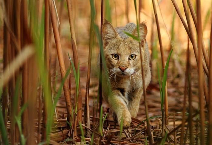 Камышовый кот (felis chaus) - кошачьи мифы: интересное о котах