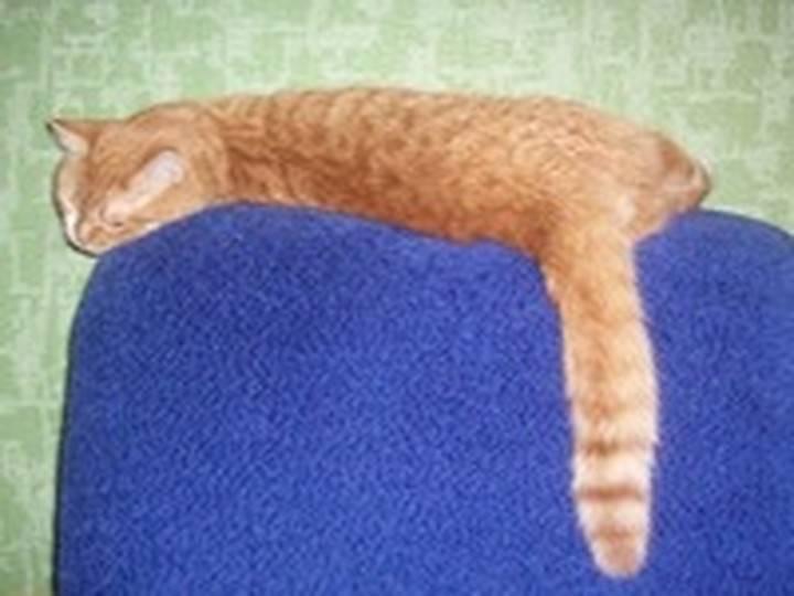 Сальный хвост у кота