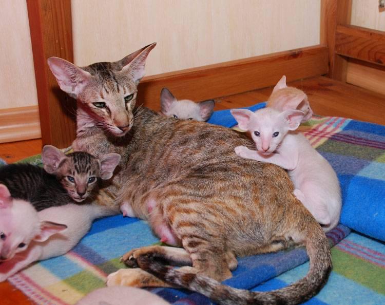 Признаки беременности у кошки и ее длительность у разных пород