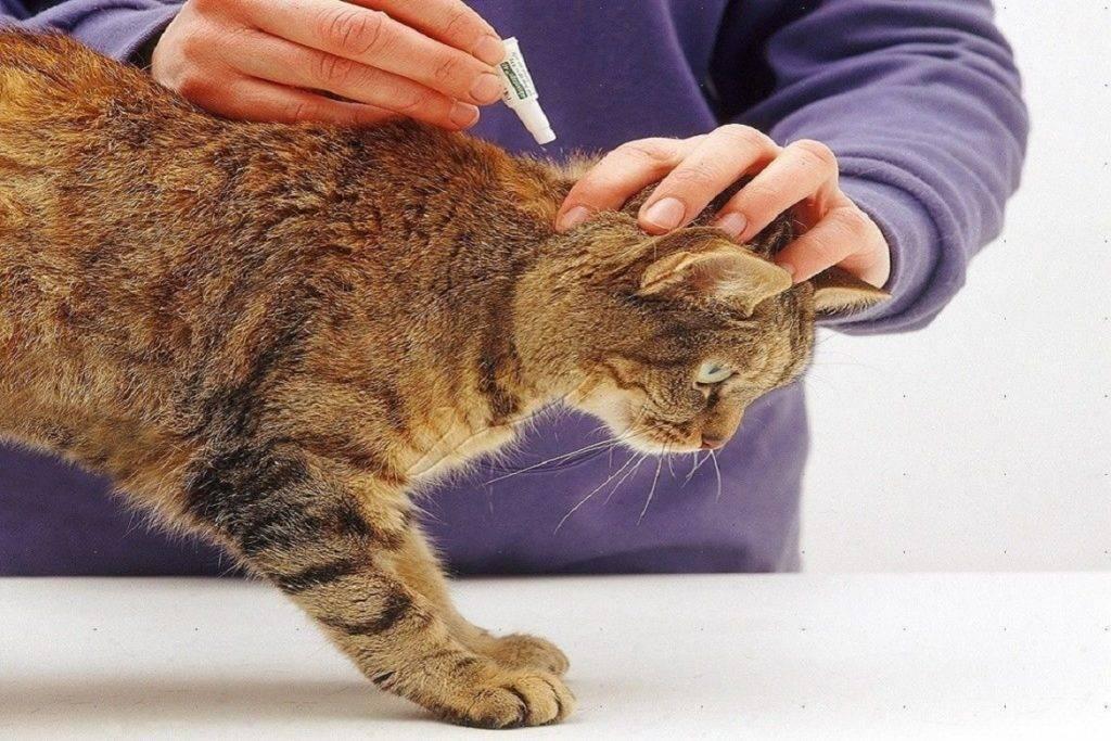 Как вывести блох у кошки или кота в домашних условиях