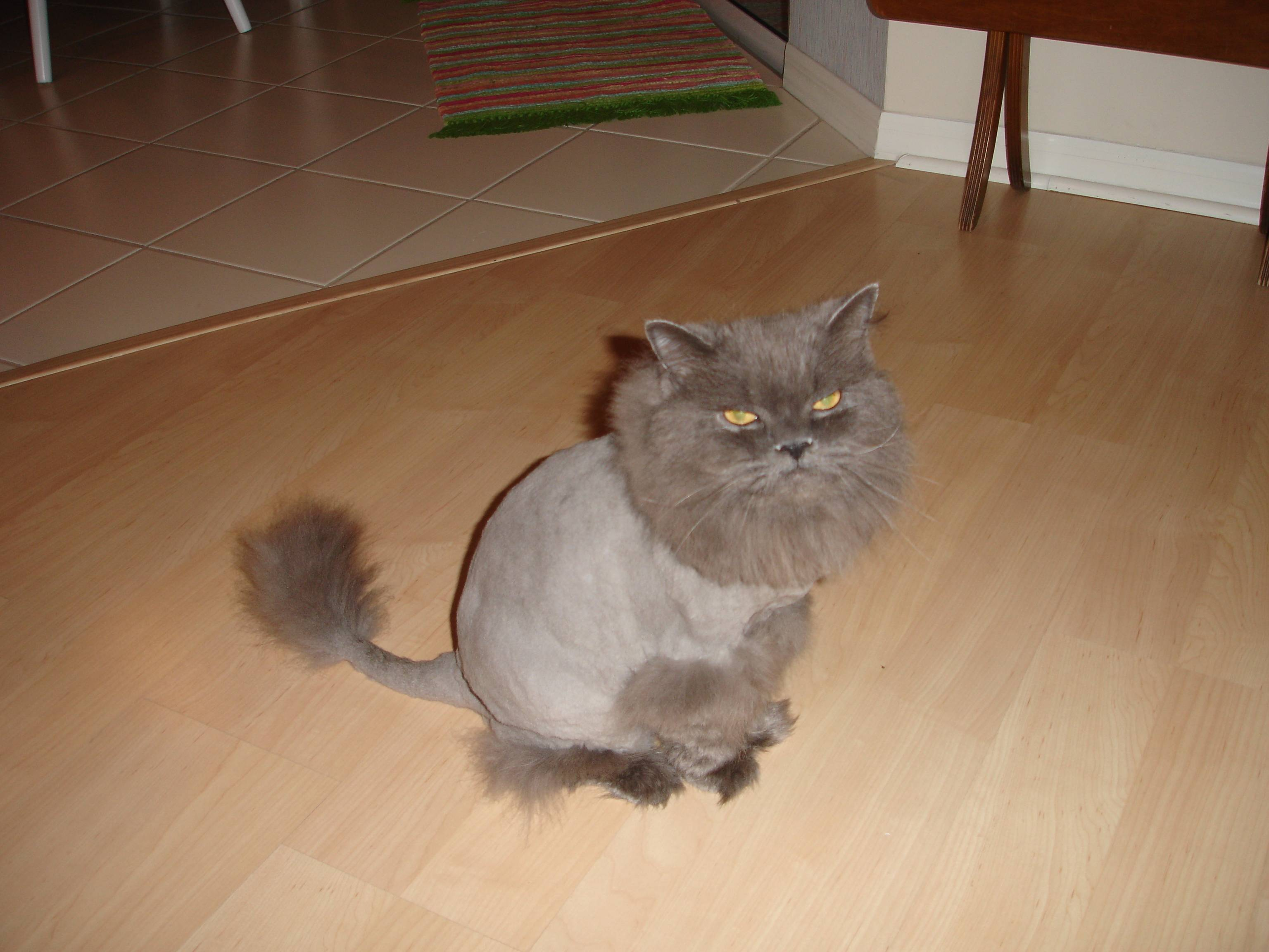 Как подстричь кота в домашних условиях если он не дается