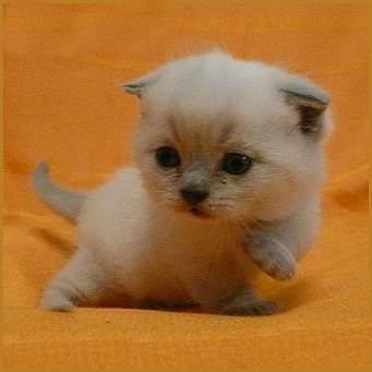 Классификация окрасов шотландской вислоухой кошки (таблица)