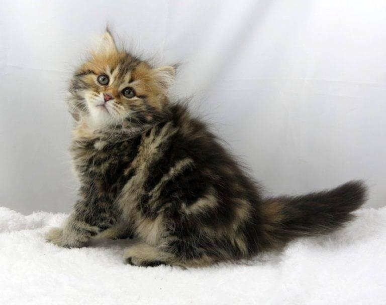 Сибирская кошка: описание породы и характера, фото, выбор котенка, отзывы владельцев