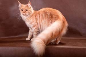 Жирная себорея у кошек — у кошки не шевелится хвост