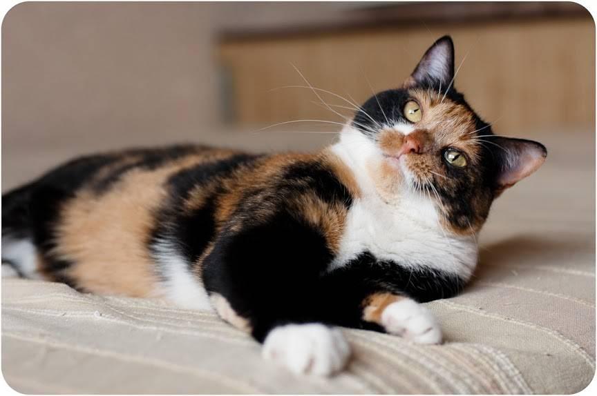 Какими бывают трехцветные кошки