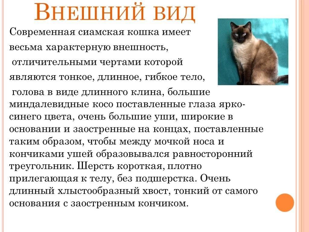 Кошка наполеон — очень красивая и милая порода. фото и видео, цена, характер, содержание, отзывы и описание породы наполеон