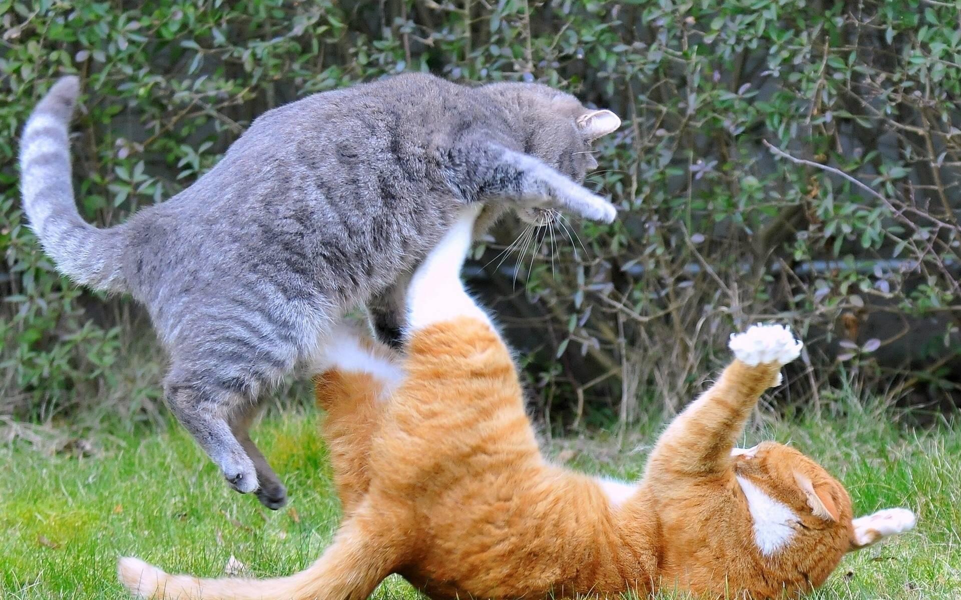 Почему кошки дерутся?